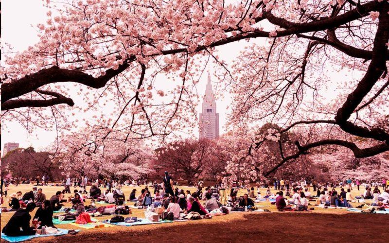 Un parco pieno di ciliegi in fiore durante l' Hanami