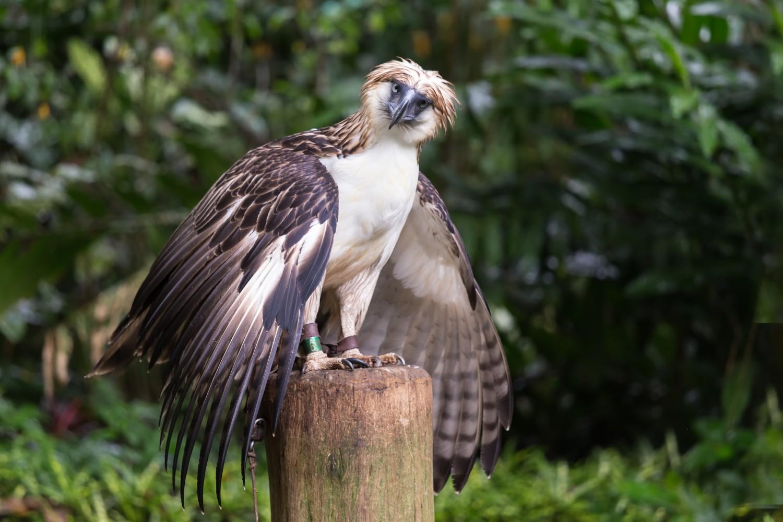 Aquila delle Filippine