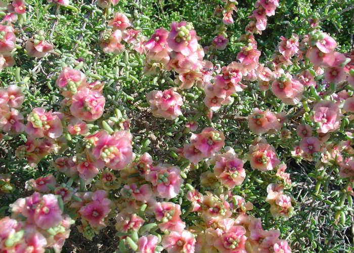 La Salsola, una delle poche piante che riescono a sopravvivere nell'ambiente della Dead Vlei in Namibia