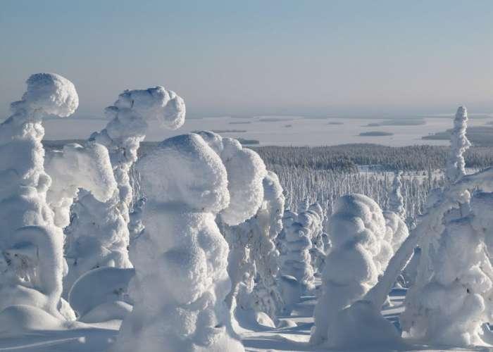 Una intera foresta di abeti rossi ricoperta da strati di neve bianca in Finlandia