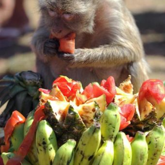 Una scimmia che mangia al Monkey Bufet Festival in Thailandia