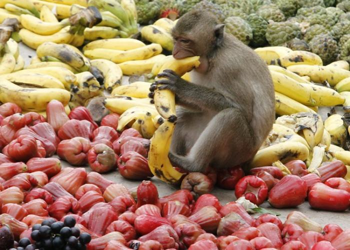 Una scimmia che mangia al Monkey Bufet Festival a Lopburi