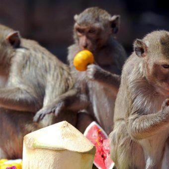 Tre scimmie che mangiano frutta e verdura al Monkey Buffet Festival in Thailandia