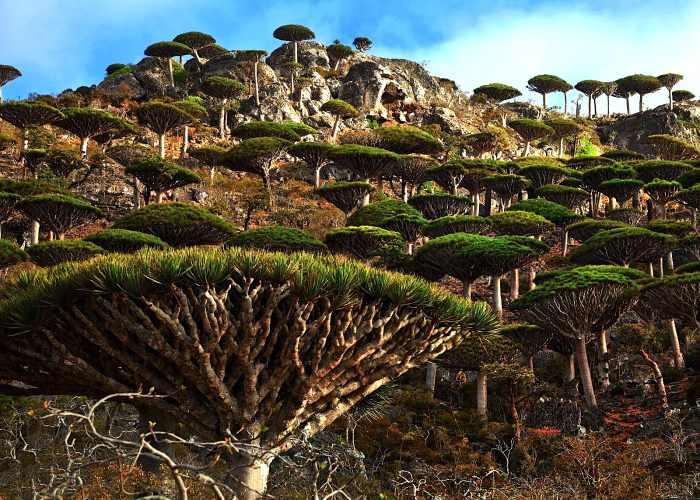 Una collina ricoperta dei particolari, e caratteristici di Socotra, nello Yemen, alberi a fungo