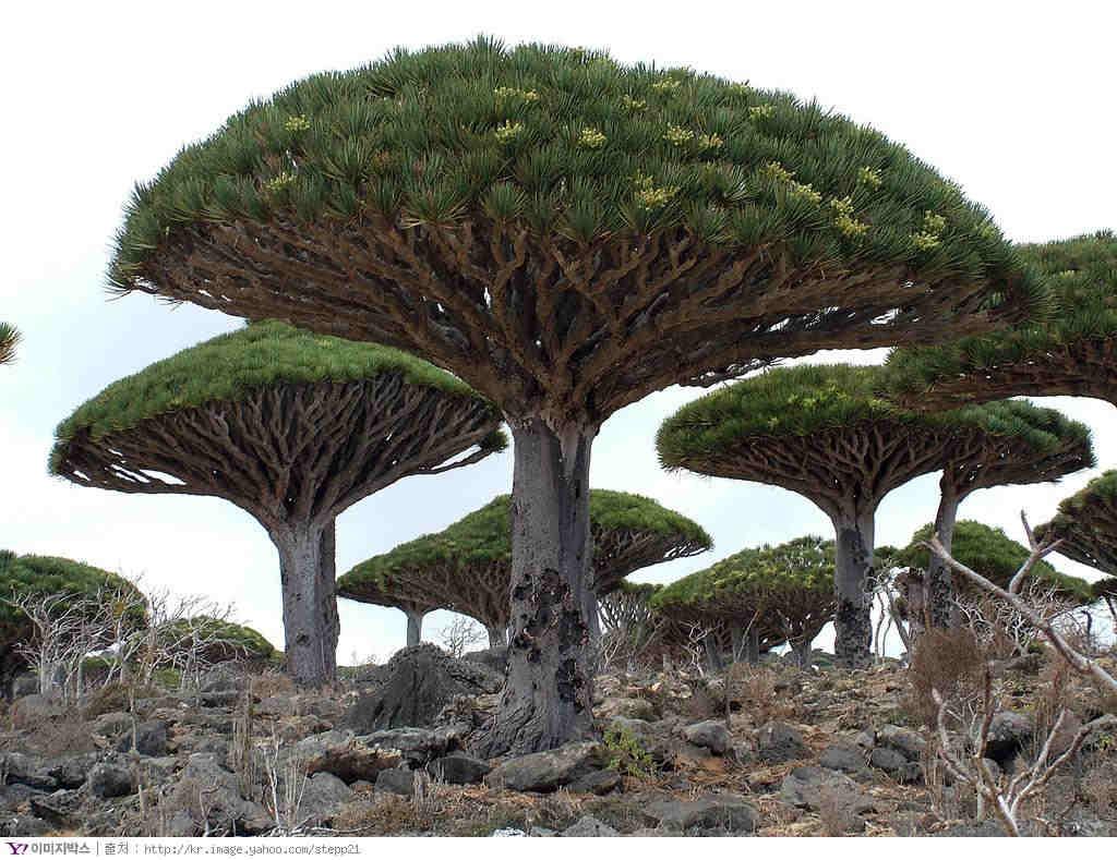 I così detti alberi ombrello dello Yemen