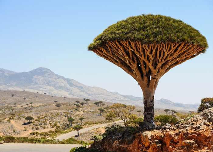 Il caratteristico albero a fungo dell'isola di Socotra nello Yemen