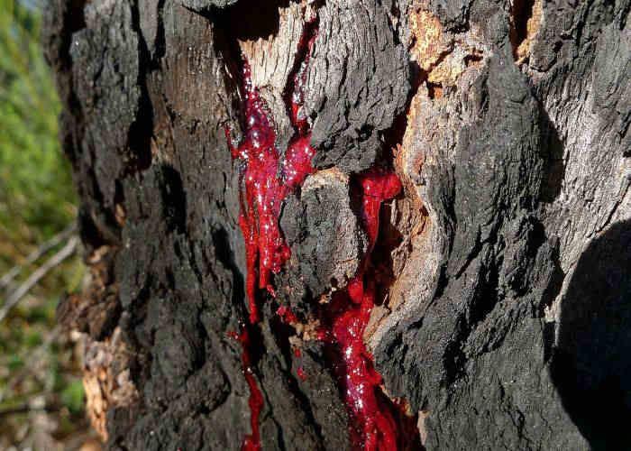 La linfa rossa denominata sangue di drago della Dracaena Cinnabari che si trova nello Yemen