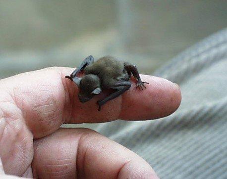 Il pipistrello più piccolo al mondo, il pipistrello calabrone posato su un dito. Possiamo osservare che è grande all'incirca come una falange