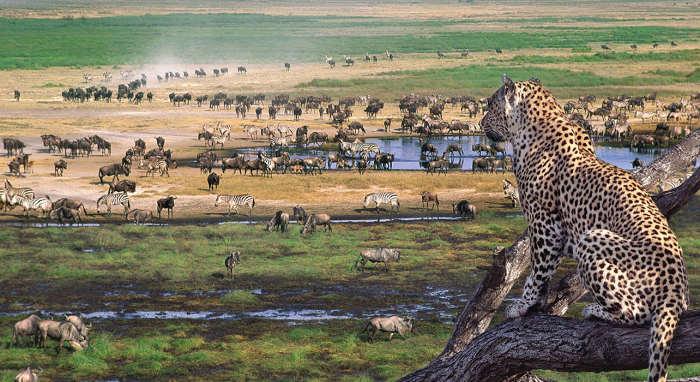 un leopardo su un albero che scruta una pozza d'acqua circondata da animali in Tanzania