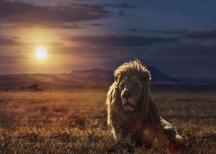 Leone al tramonto in Tanzania