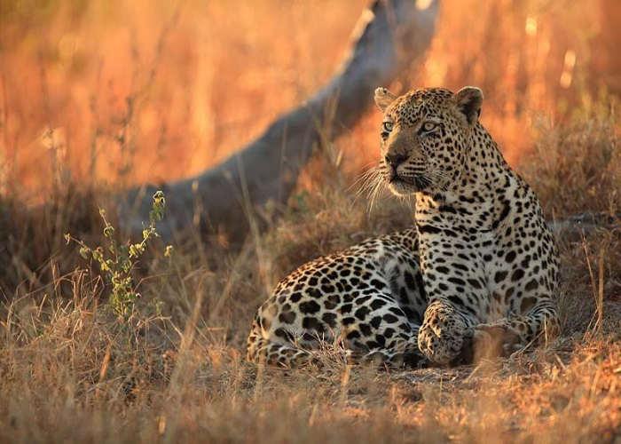 Leopardo a Mauritius