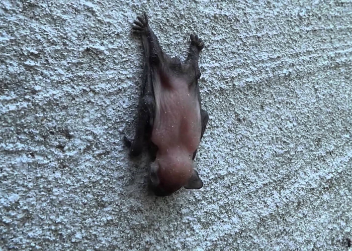 Il pipistrello più piccolo al mondo, il pipistrello calabrone attaccato al muro a testa in giù
