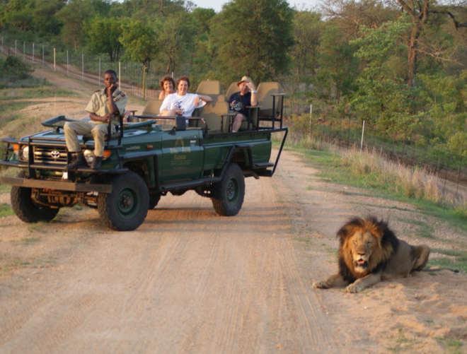 l'incontro di un leone durante un safari a Mauritius