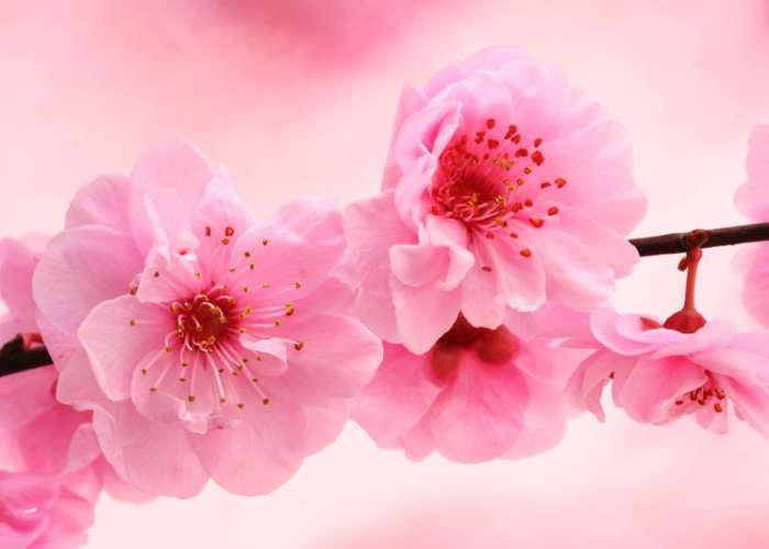Una macro di un rametto di ciliegio in fiore