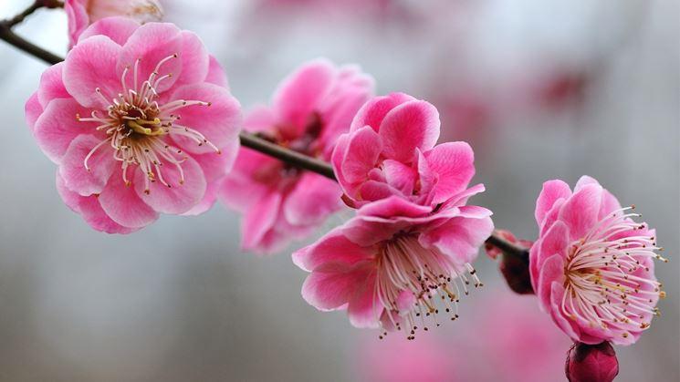 Un bellissimo rametto di ciliegio con dei fiori sbocciati