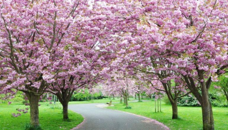 Una stradina di un parco circondata da ciliegi in fiore