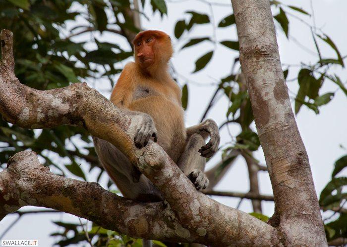 Una scimmia nasica