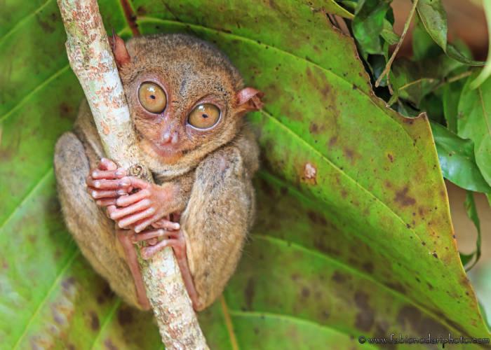 Un Tarsio il primate più piccolo del mondo sveglio di giorno