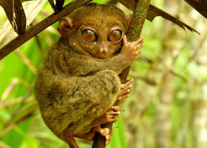 Un Tarsio il primate più piccolo del mondo