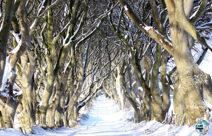 The Dark Hedges innevato
