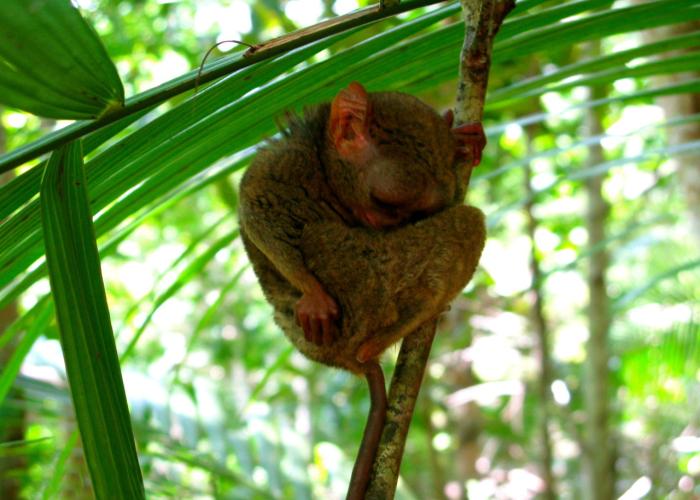 Un Tarsio il primate più piccolo del mondo che dorme di giorno