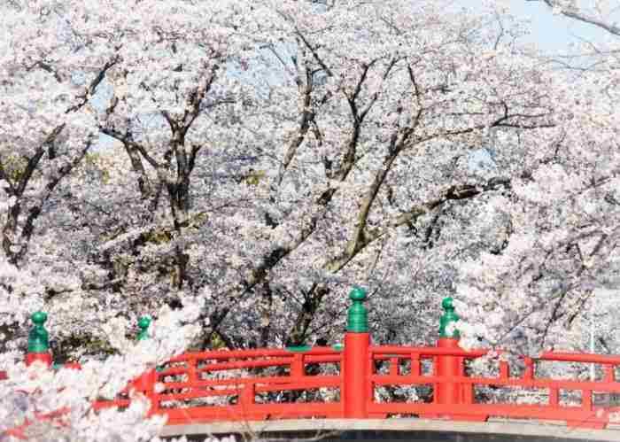 Un caratteristico ponte rosso con uno sfondo composto solo di ciliegi in fiore